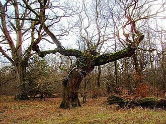 Old Forest - An old oak in Savernake Forest, Wiltshire, England. English oak woods provided the inspiration for the Old Forest