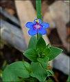Anagallis-arvensis-Horashim2014-Zachi-Evenor.jpg