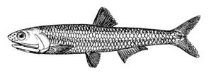 Europäische Sardelle (Engraulis encrasicolus)