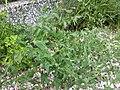 Anchusa arvensis subsp. orientalis sl2.jpg