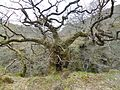 Ancient Sessile Oak (Quercus petraea), Falls of Cruachan.JPG