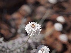 Anemocarpa saxatilis flowers.jpg