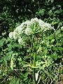 Angelica sylvestris subsp. sylvestris sl26.jpg