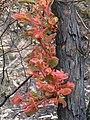 Angophora hispida Dwarf apple (Angophora hispida) 31-10-2007 IMG 5392 (1807217983).jpg