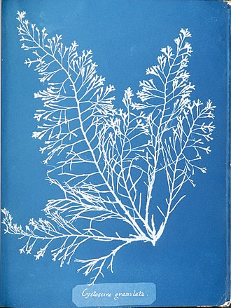 Women in photography - Image: Anna Atkins Cystoseira granulata