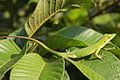 Anolis porcatus on leaves in Cuba.jpg