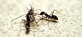 Ant eating spider 1.jpg
