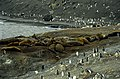 Antarctic, Elephant seal colony (js) 48.jpg