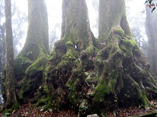 Antarctic Beech Tree Base (Nothofagus Moorer).JPG