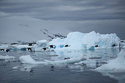 Antarctic Shags flying by an iceberg (6058731307).jpg