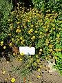 Anthemis tinctoria (Dyer's Chamomile) (28725158141).jpg