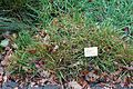 Anthoxanthum odoratum - Botanischer Garten - Heidelberg, Germany - DSC00870.jpg