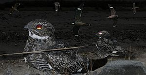 Antillean Nighthawk From The Crossley ID Guide Eastern Birds.jpg