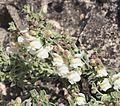 Antirrhinum pulverulentum 20160510 c.jpg