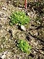 Aphanes australis sl12.jpg