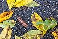 Apheloria virginiensis (26479360069).jpg