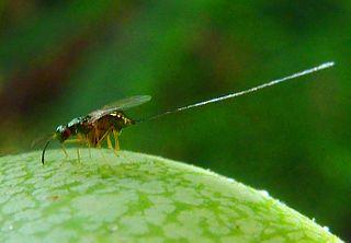 <i>Apocrypta</i> genus of fig wasps