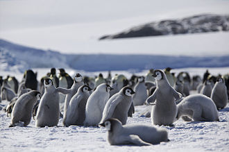 Behavioral ecology - Penguins huddling in the Antarctic