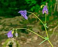 Aquilegia vulgaris in Aveyron (7).jpg