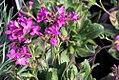 Arabis blepharophylla Spring Charm 1zz.jpg