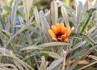 Arachnoid (botany) - The arachnoid leaves of this Gazania are covered with a fragile cobwebby felt