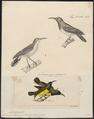 Arachnothera pectoralis - 1700-1880 - Print - Iconographia Zoologica - Special Collections University of Amsterdam - UBA01 IZ19000171.tif