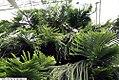 Araucaria heterophylla 6zz.jpg
