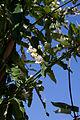Araujia sericifera - Fleurs.jpg