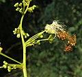 Archidendron bigeminum 30.jpg