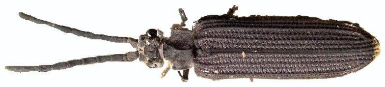 Archostemata Tenomerga mucida01 rotated
