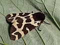 Arctia caja - Great tiger moth - Медведица кая (40151782554).jpg