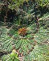Arctopus echinatus - Kenwyn Nature Park 3.jpg