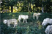 A pack of Arctic Wolves in Toronto Zoo