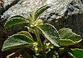 Argythamnia serrata 4.jpg