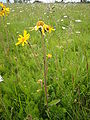 Arnica montana on a mountain meadow in saxony, germany.JPG