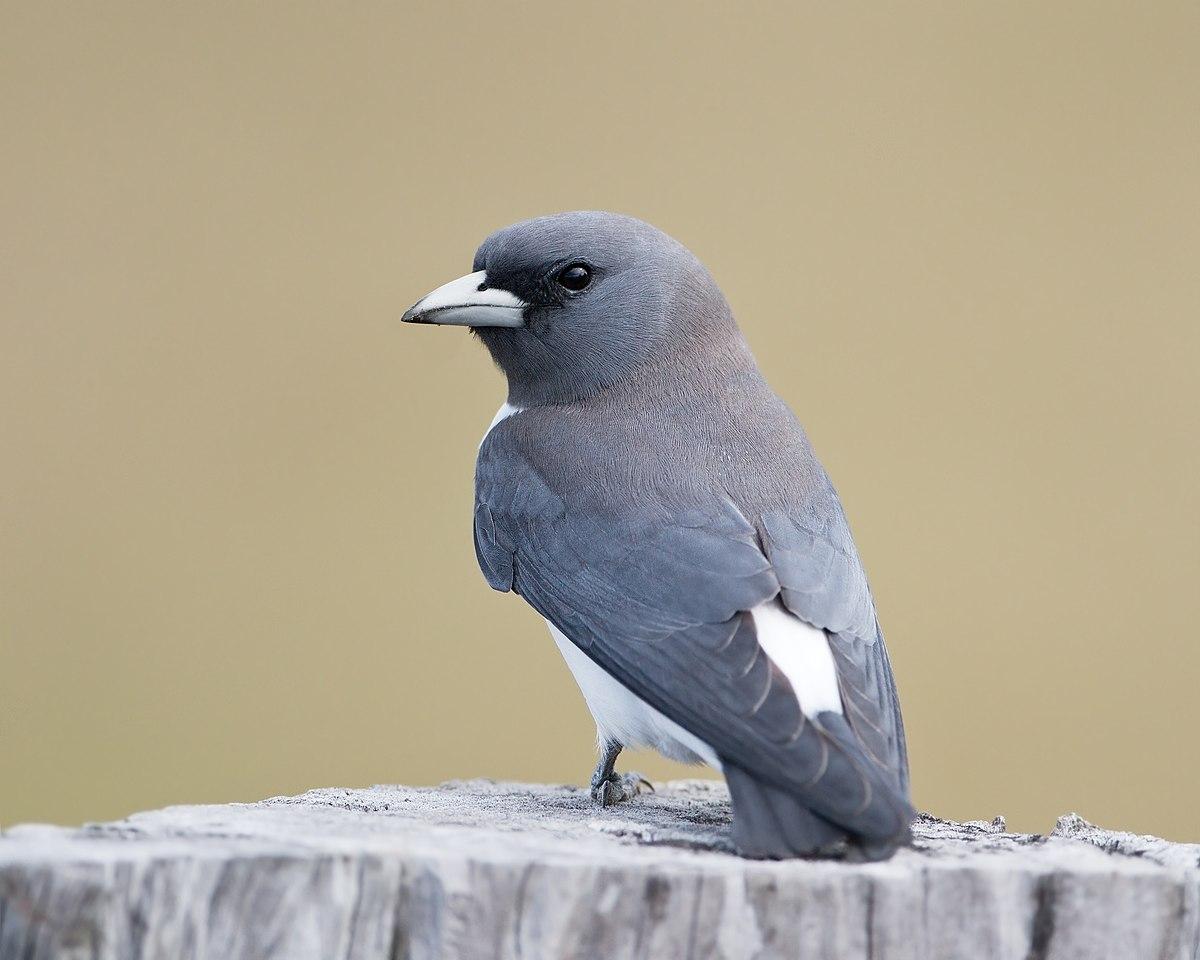 White-breasted woodswallow - Wikipedia