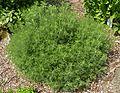 Artemisia abrotanum J1.jpg
