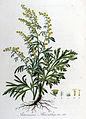 Artemisia absinthium — Flora Batava — Volume v8.jpg