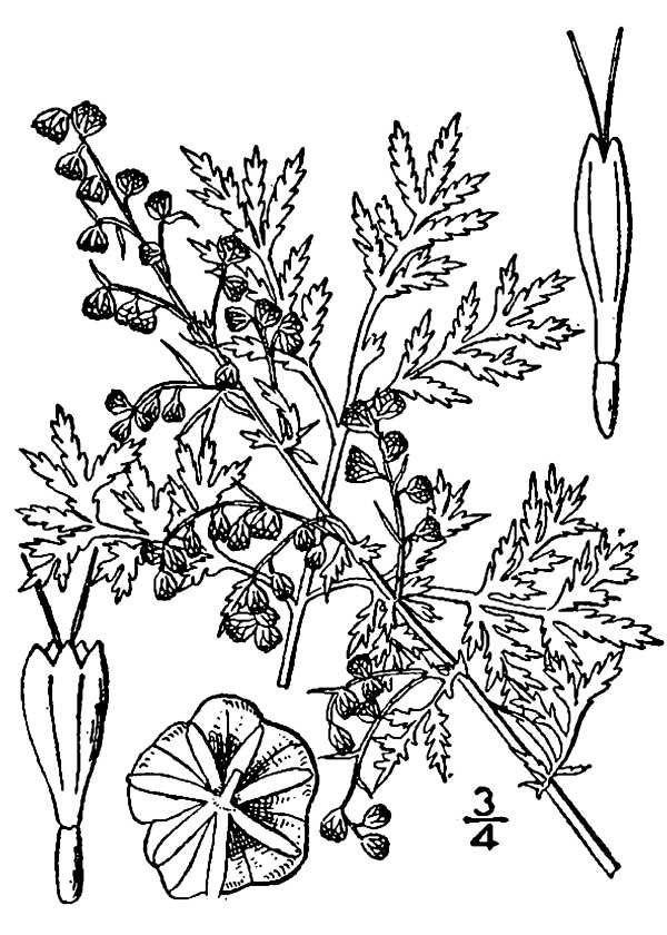 Artemisia annua(01)