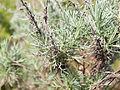 Artemisia californica 001 — Franco Folini.jpg
