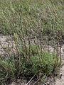 Artemisia campestris Kemi, Finland 15.07.2013.jpg