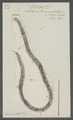 Ascaris truncata - - Print - Iconographia Zoologica - Special Collections University of Amsterdam - UBAINV0274 104 09 0003.tif