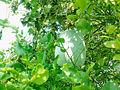 Ash Gourd (benincasa pruriens) at Pogallapalli village in Andhra Pradesh.jpg