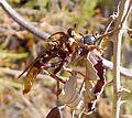 Asilus crabroniformis. Asilidae - Flickr - gailhampshire.jpg
