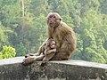 Assamese macaque AJTJ P1020178.JPG