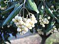 AssegaiTree Curtisia dentata fruits detail - SA.jpg