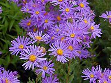 Aster (genus) - Wikipedia