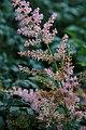 Astilbe simplicifolia Hennie Graafland 1zz.jpg