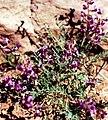 Astragalusdesperatus.jpg