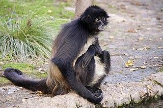 White-bellied spider monkey species of mammal